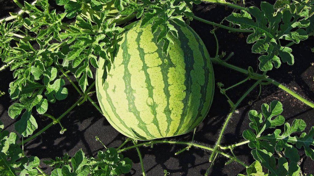 melon d'eau, biologique, agriculture, maraîchage, melons