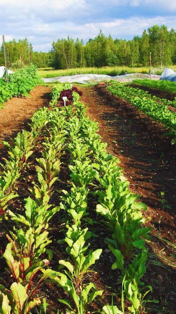 agriculture, biologique, semences, betteraves, jardinage, maraîchage, cultures