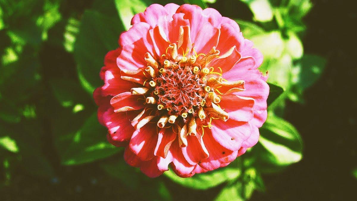 fleurs, zinnia, jardinage, jardins, agriculture,